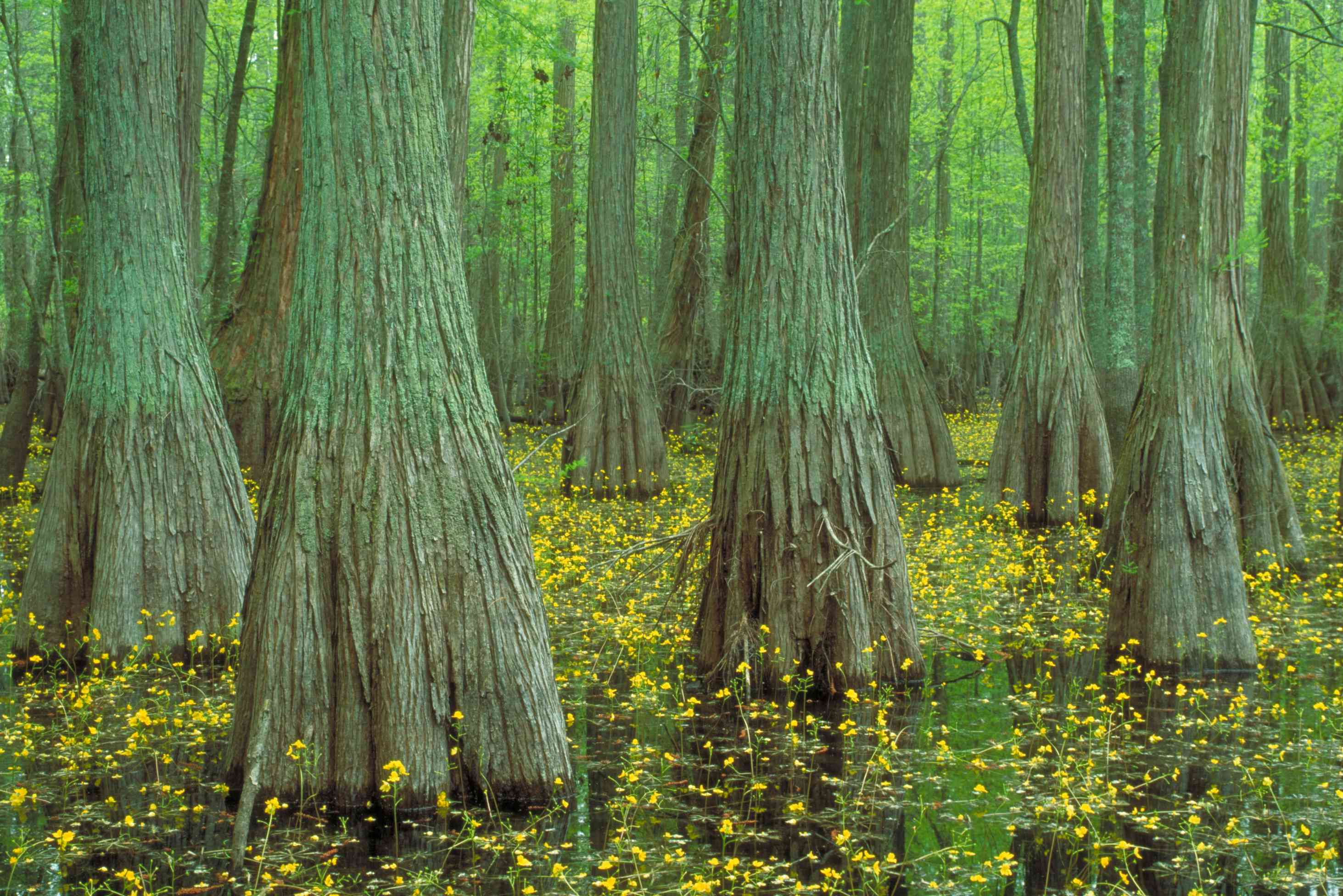 Trunks of cypress trees sourrounded by small yellow flowers of bladderwort