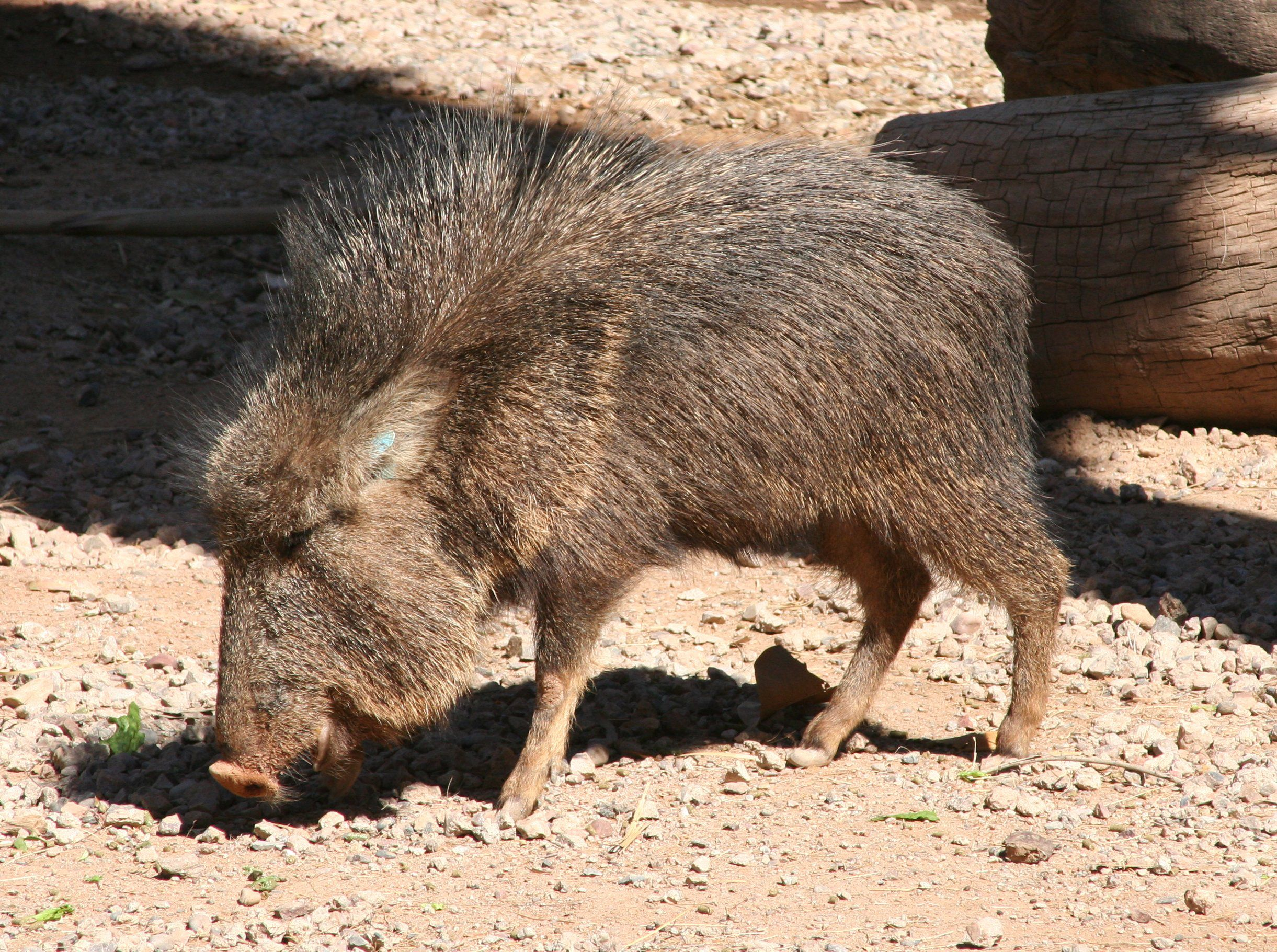 A Chacoan peccary sniffs the ground for food.