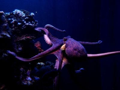 close up of pink and purple octopus swimming underwater at night