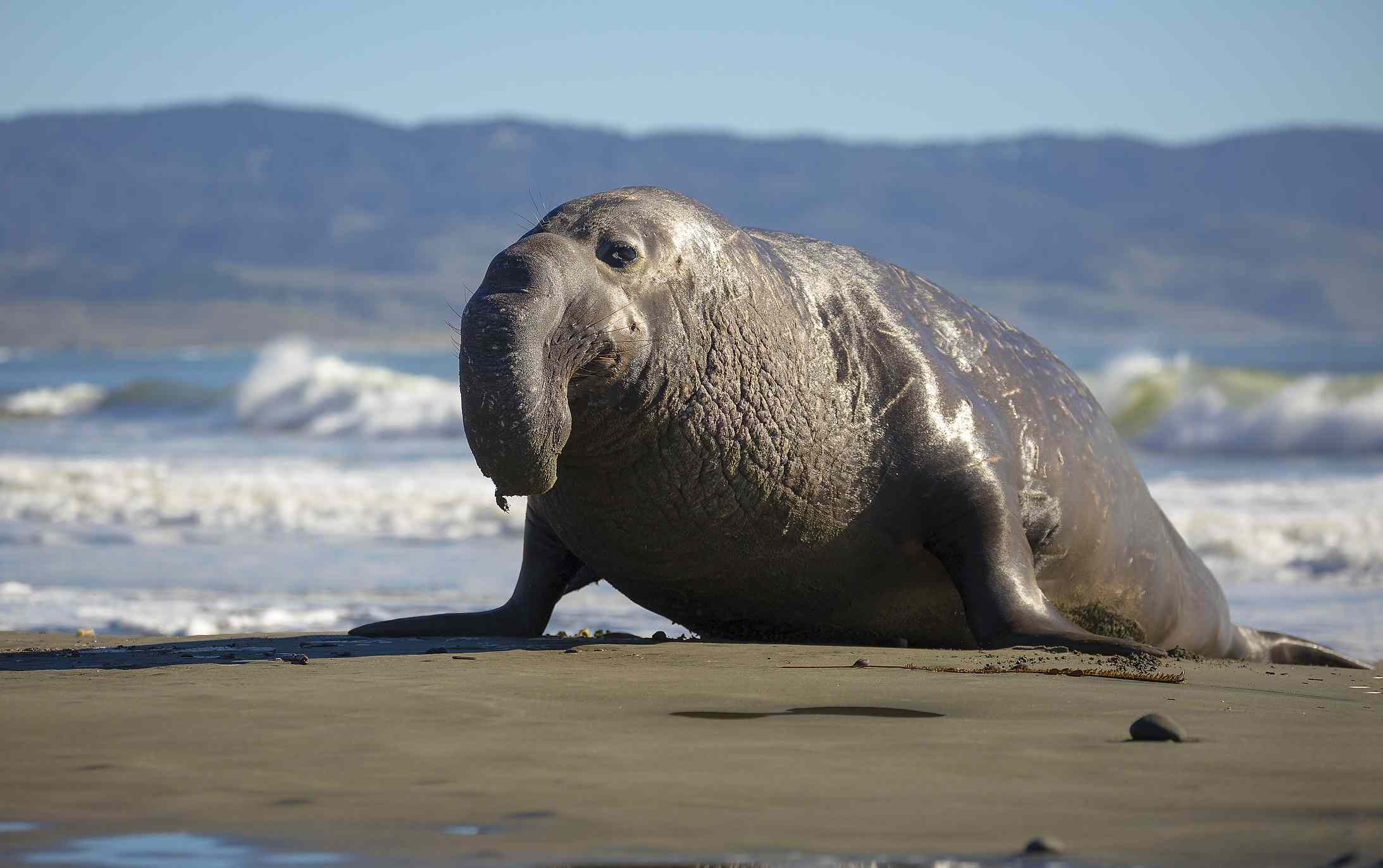 elephant seal with large nose lies on beach
