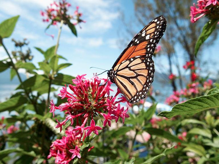 A monarch butterfly resting on a flower