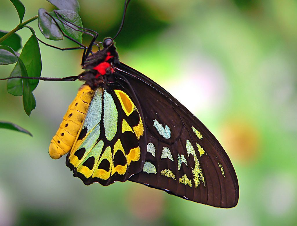 A black, yellow, blue, and green Cairns birdwing butterfly with a red face on a green plant