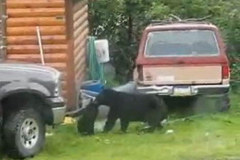 Bear rescues cub from fishing net with help of Alaskan fisherman Dane Havard photo