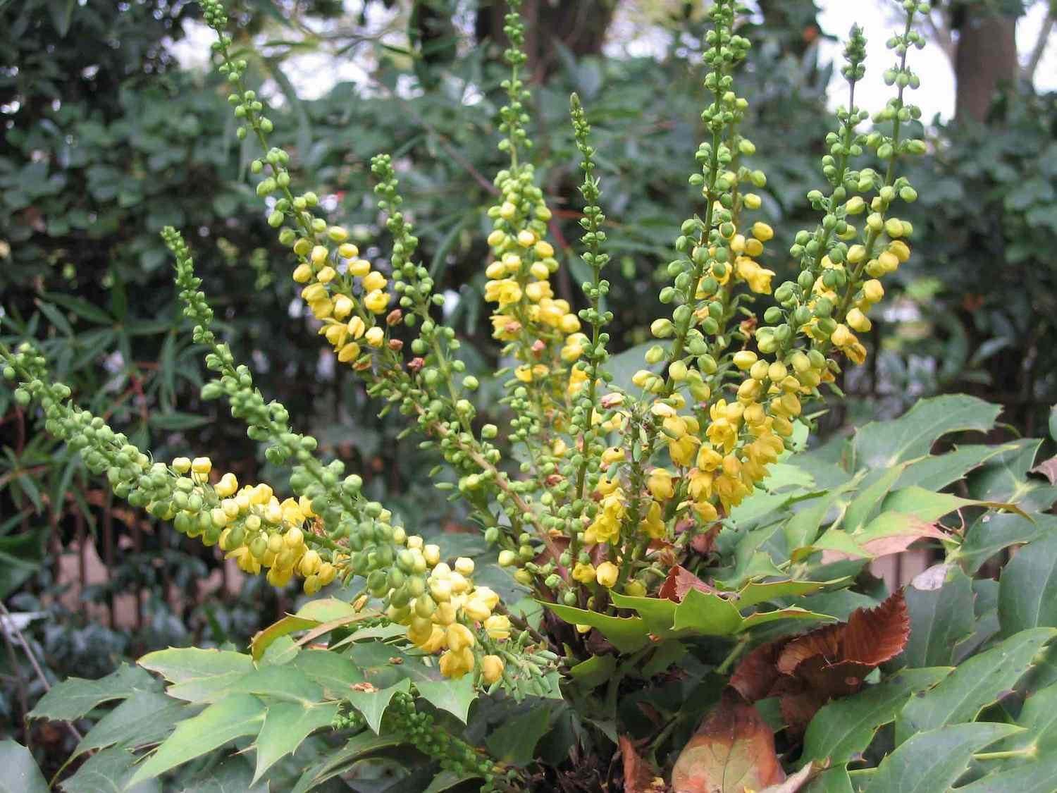 Green and yellow flowers of the leatherleaf mahonia plant grow out of a bed of green leaves