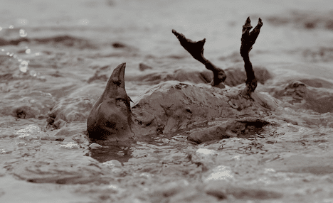 birds-cleaned-die-gulf-spill photo