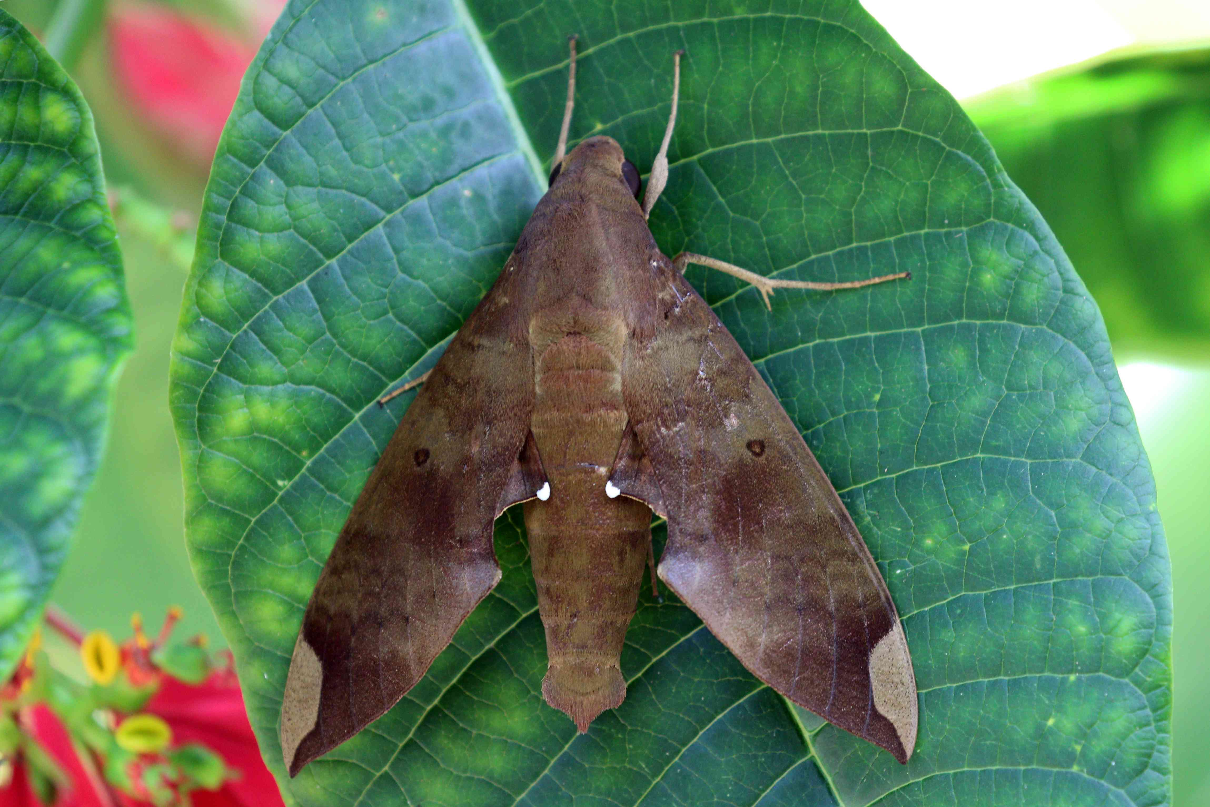 fig sphinx moth, Pachylia ficus
