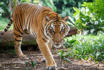 Malayan tiger is walking toward viewer looking straight