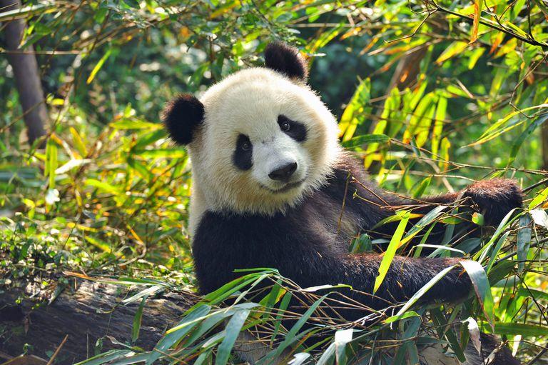 Por qué nos entusiasman tanto los pandas gigantes