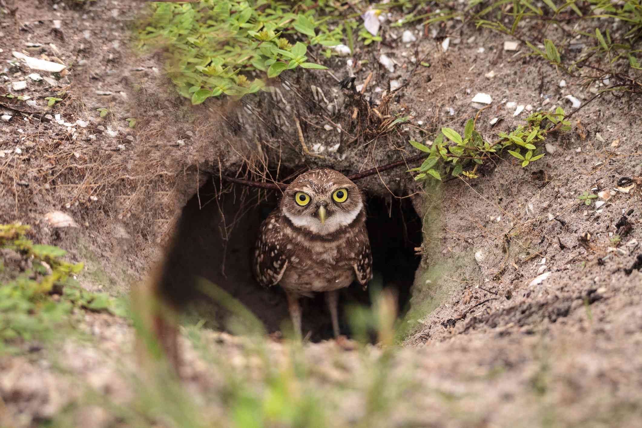baby burrowing owl standing outside its burrow, facing camera with big yellow eyes