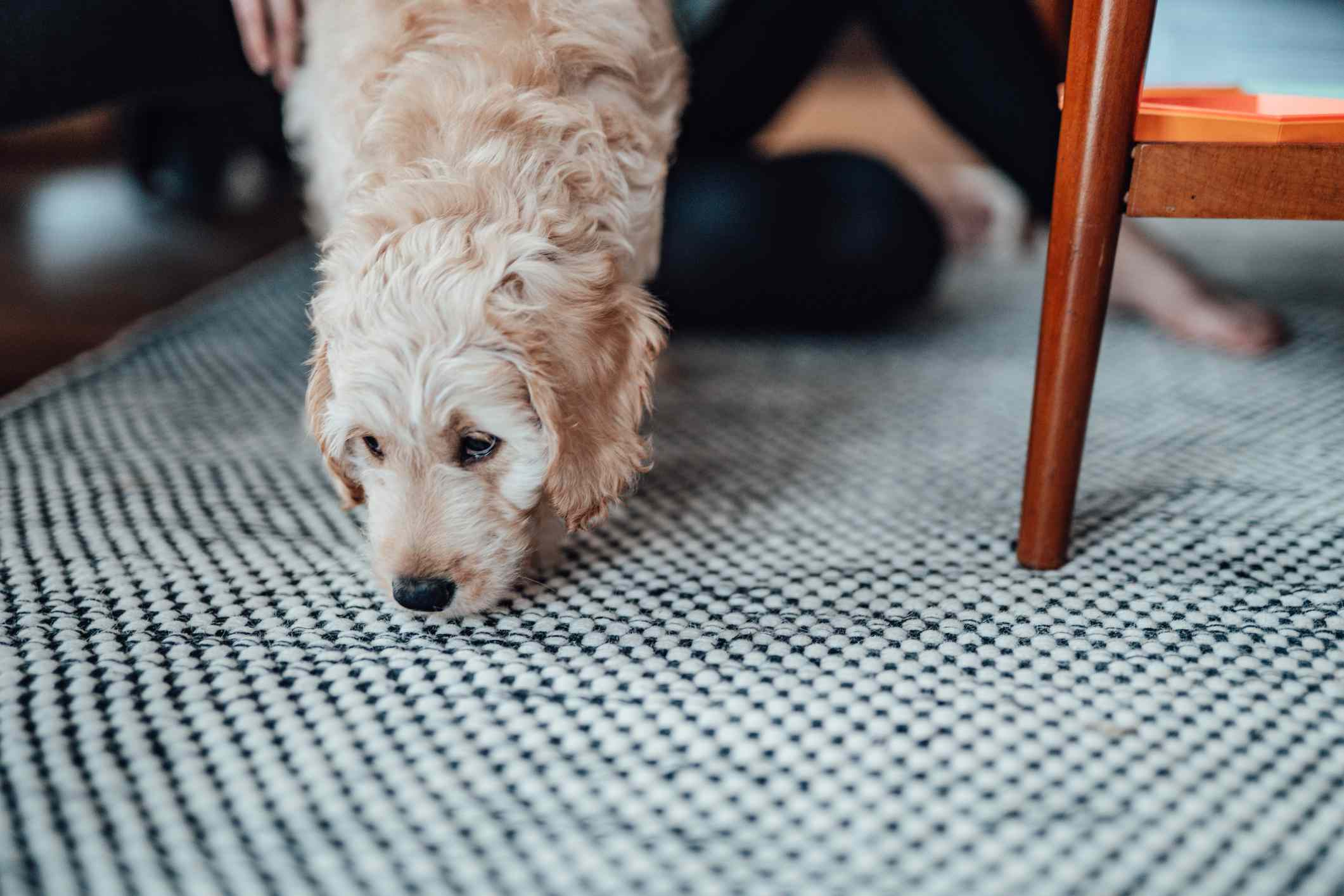 Puppy Sniffing The Rug On The Floor