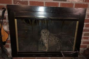 A barred owl peeks out from inside a chimney.