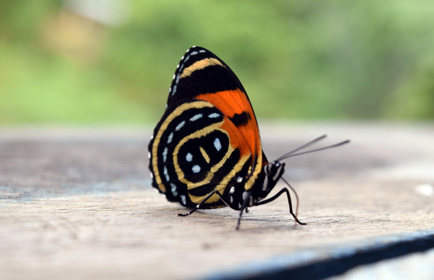 butterfly Amazon jungle