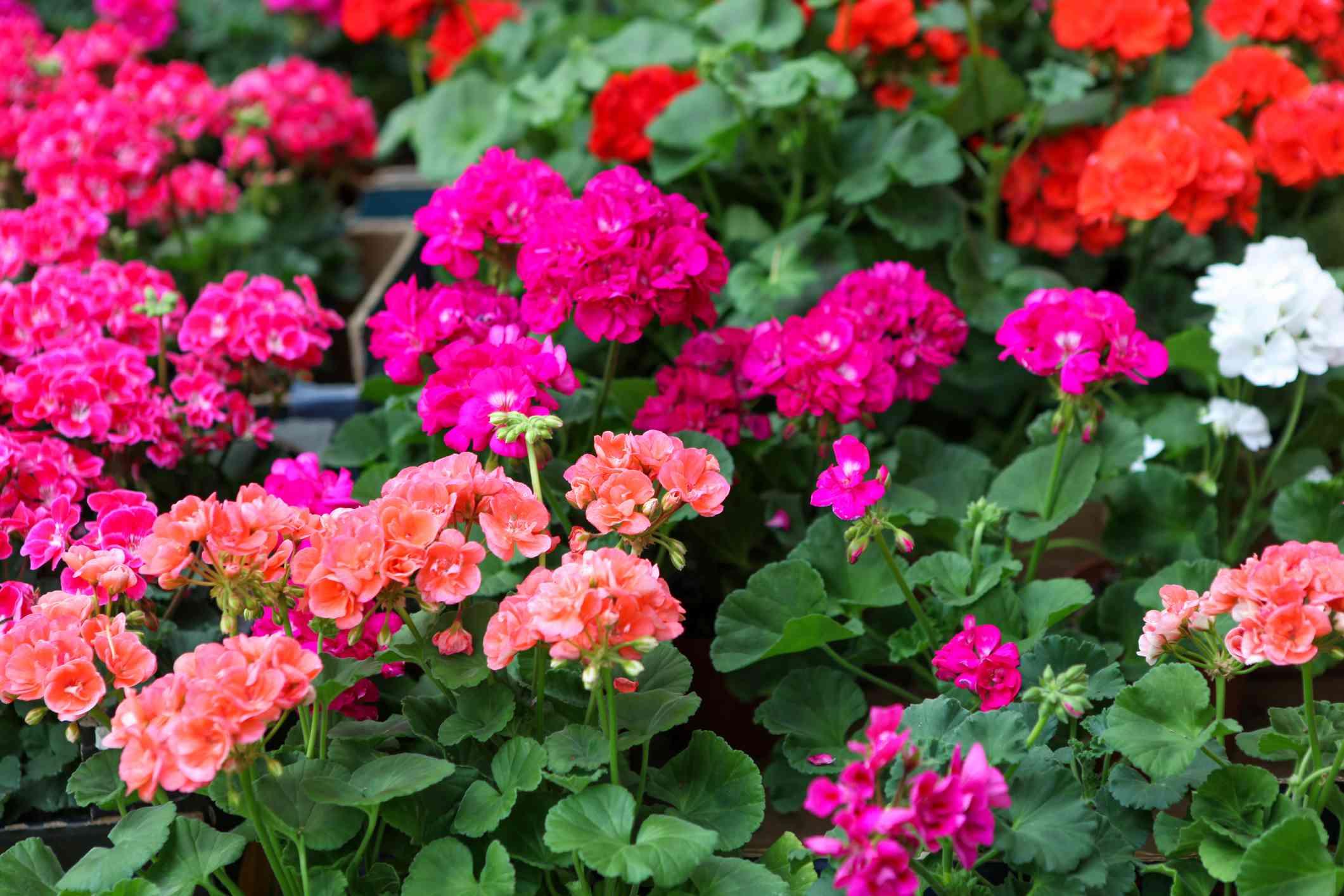 Close up of geranium flowers