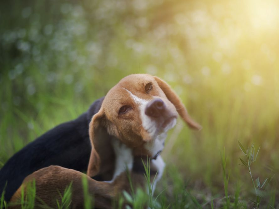 Try These Effective Mosquito Repellents For Dogs,Property Brothers Houses So Expensive