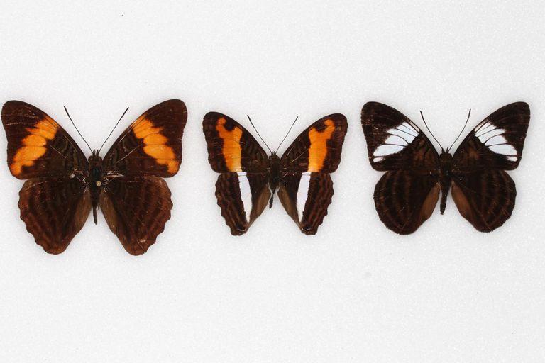 Adelpha butterflies