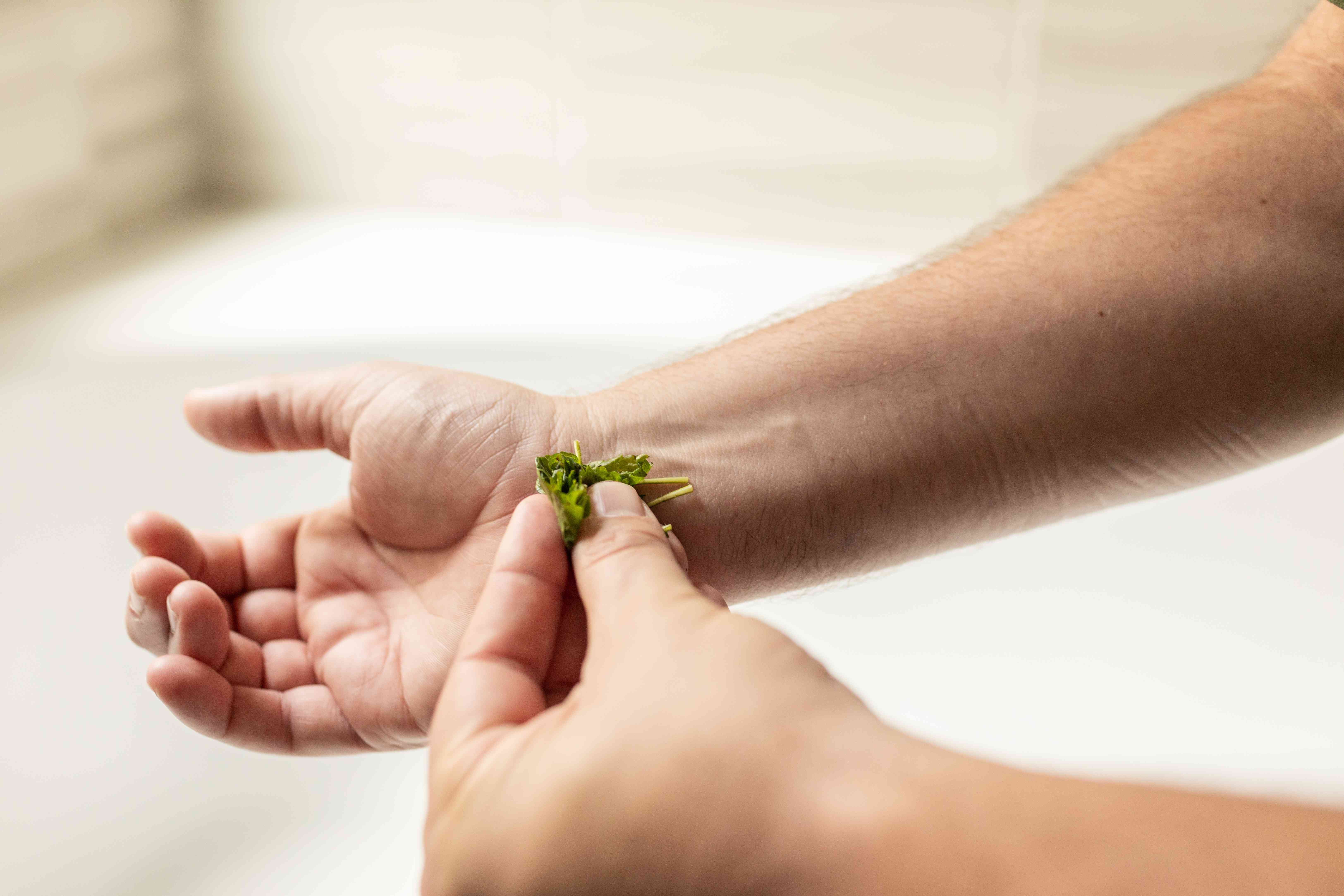 person crushes fresh lemon balm plant on wrists to prevent insect bites
