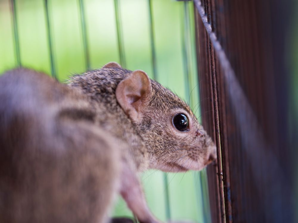 squirrel in trap, waiting to be released