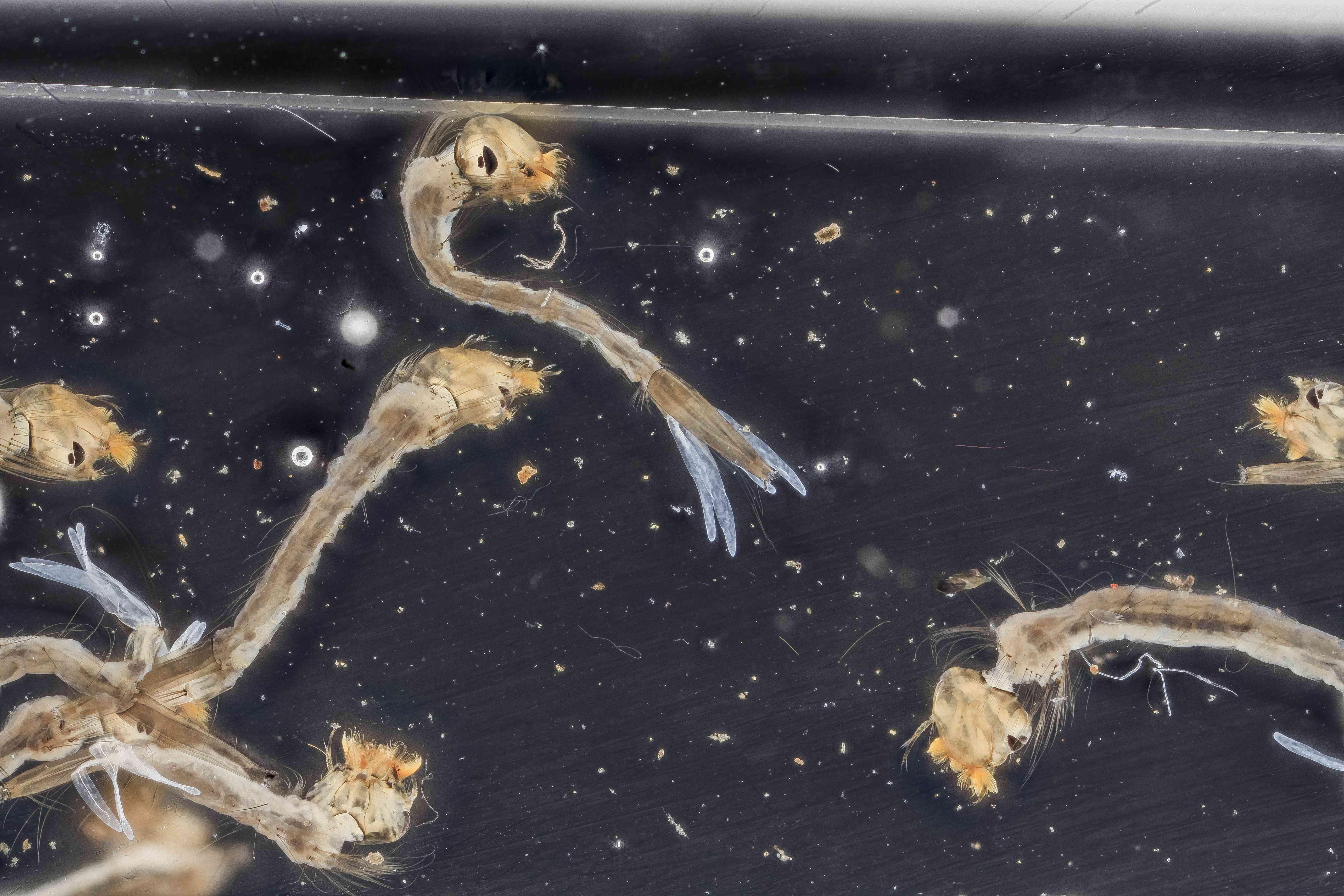 mosquito larvae