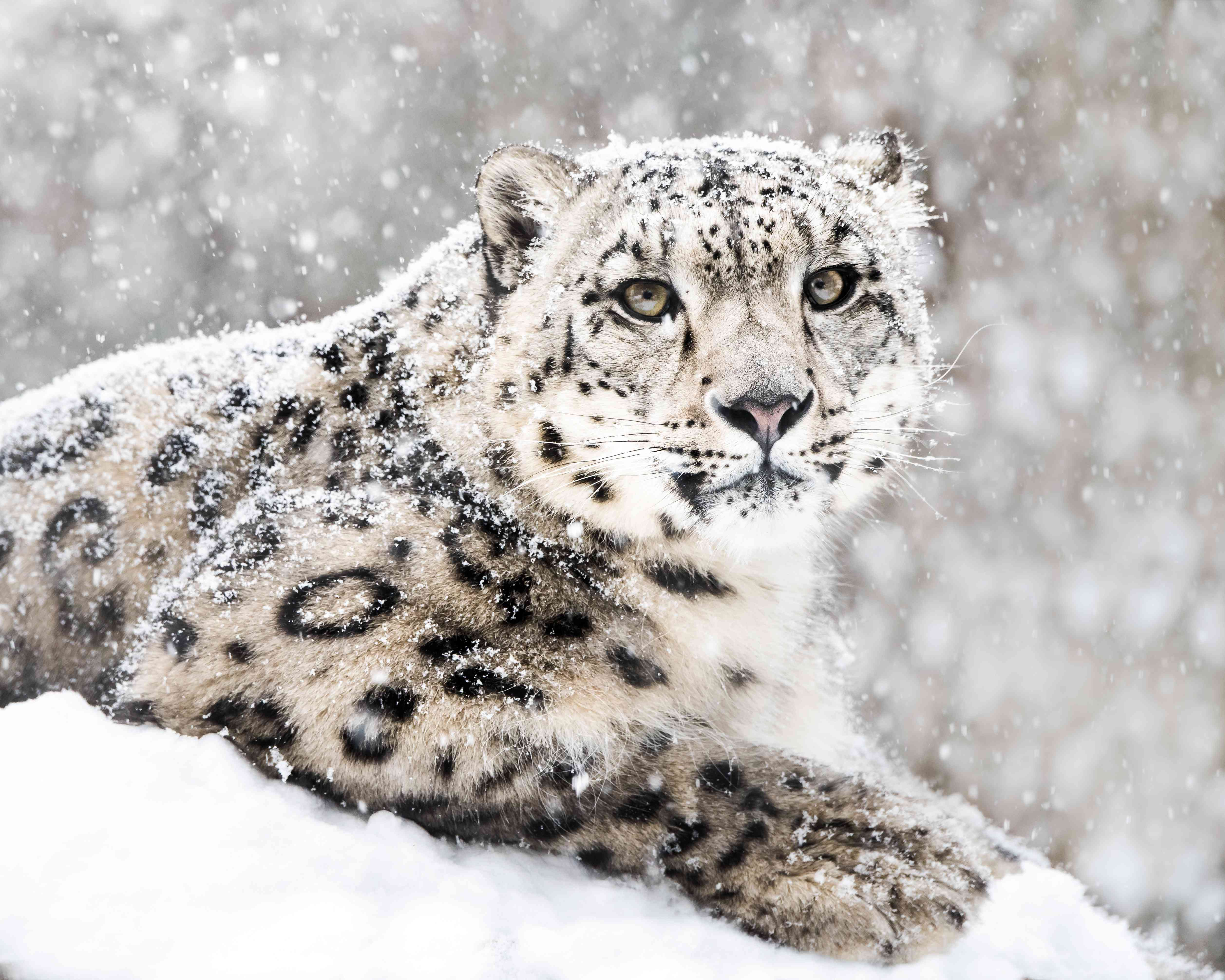 Snow leopard sitting in a snow storm