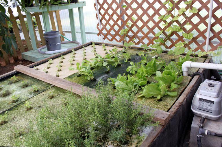Seedlings, greens, herbs grown in aquaponics system