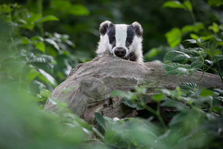 Badger peaking from behind a log