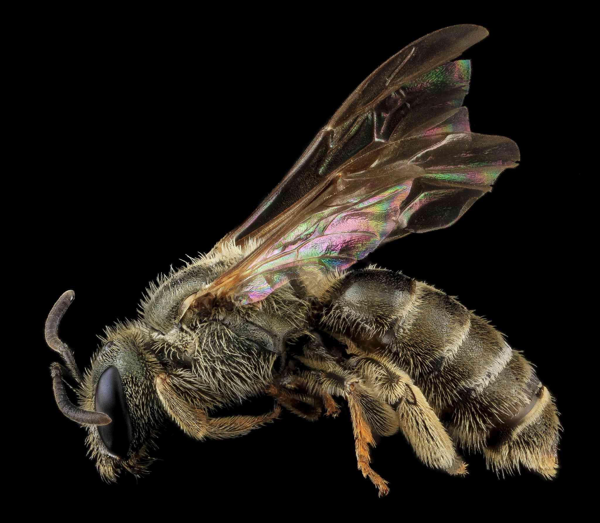 Halictus confusus, a sweat bee