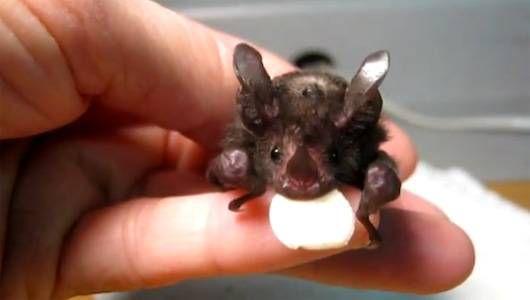 Conoce a Lil 'Drac, el murciélago huérfano cuya historia' sacudió 'a una nación