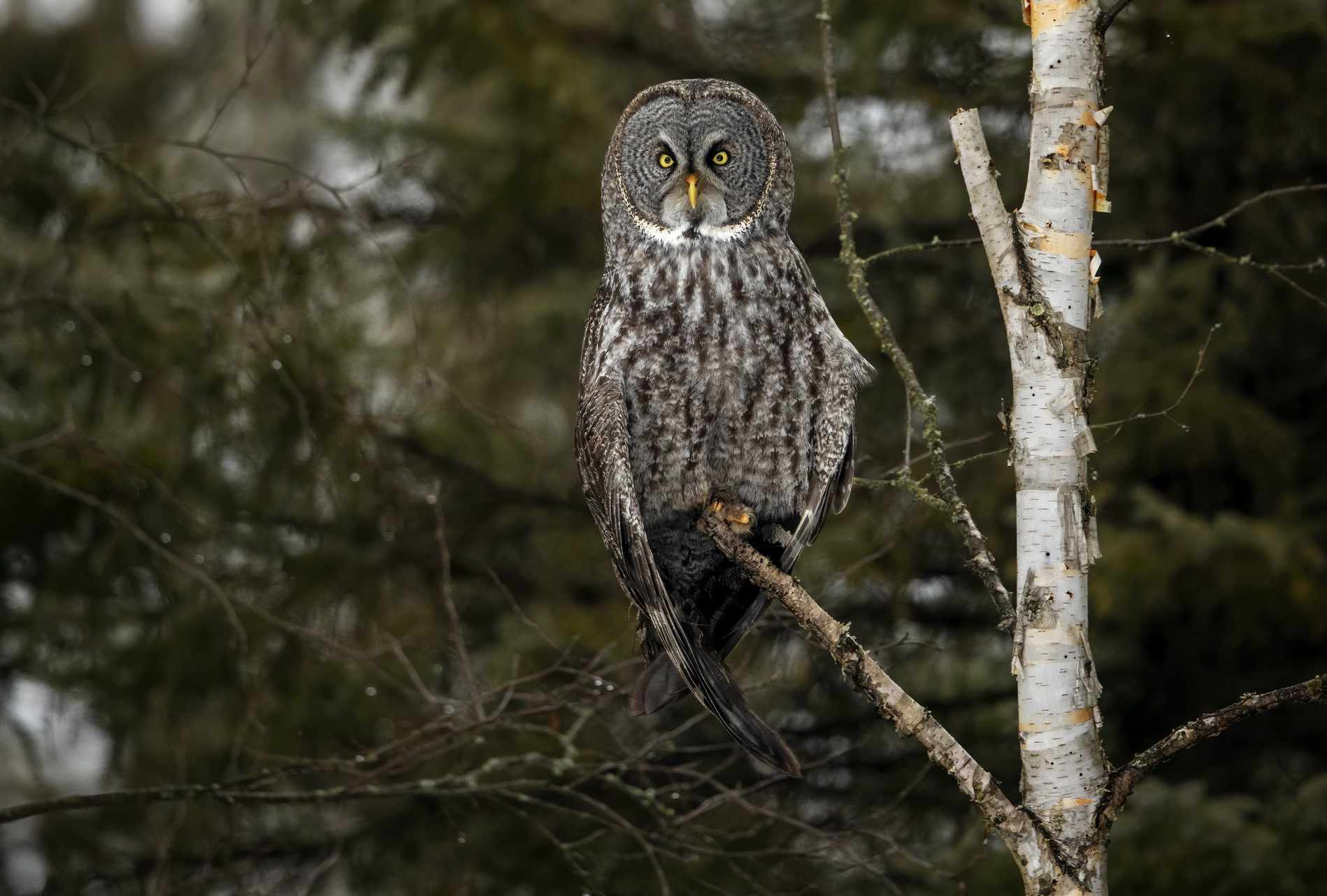 Great gray owl perched on a bare branch