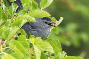 Gray catbird with a mulberry