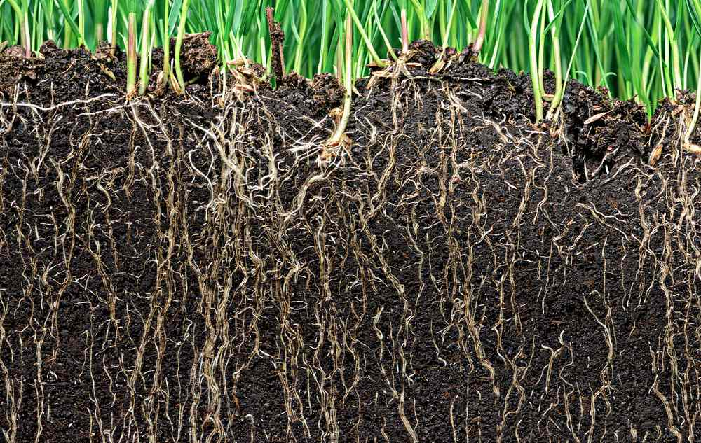 Grass growing in healthy soil with roots