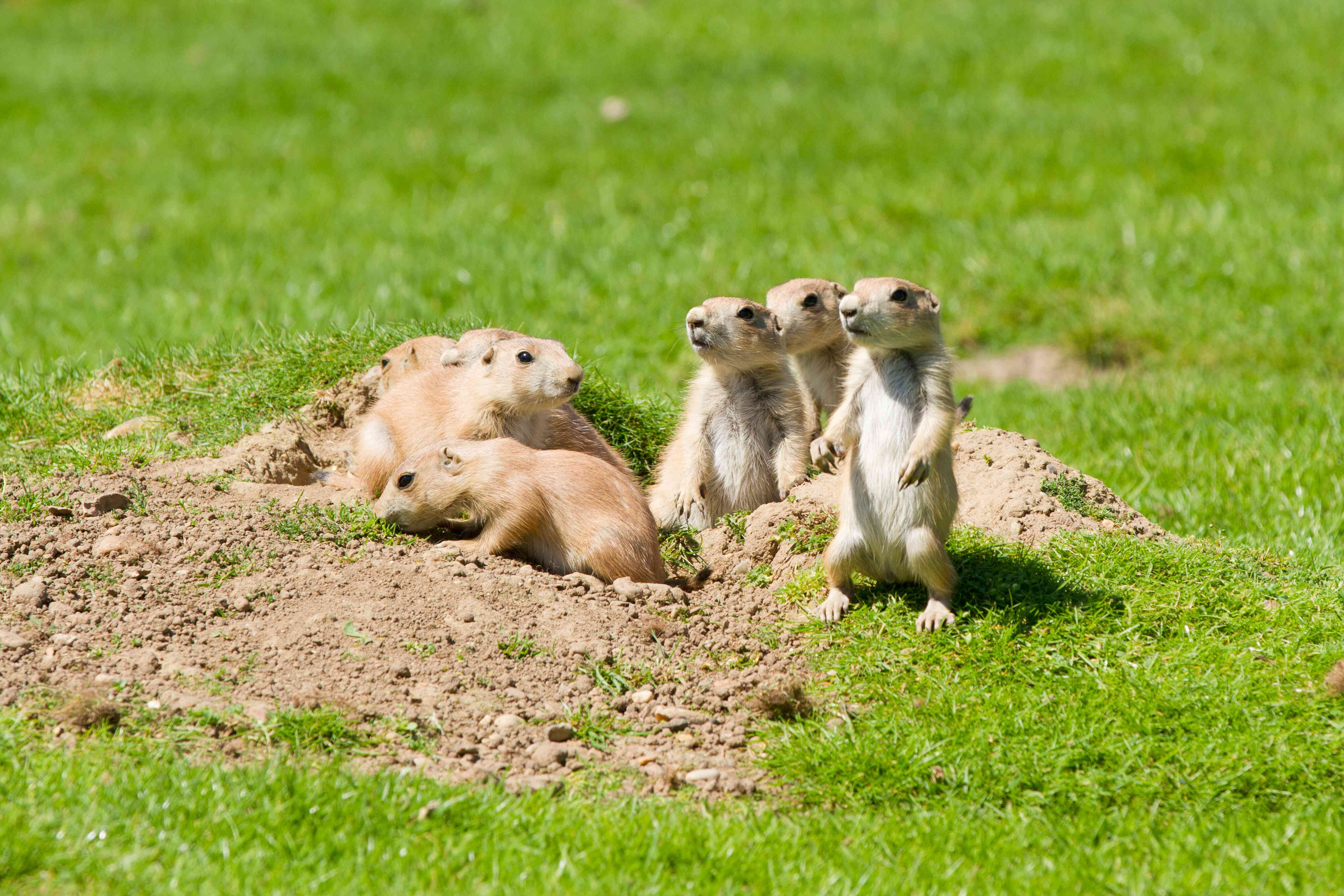 A family of prairie dogs exiting their burrow on a field of green grass with some looking off in the distance.