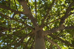 View looking up at the branches and leaves of an American Sycamore tree
