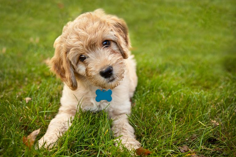 Goldendoddle puppy looking at camera lying in grass