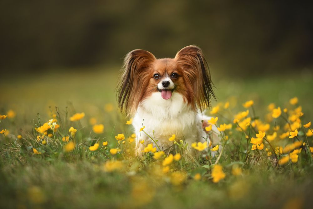 Papillon sitting in a grassy field of yellow flowers
