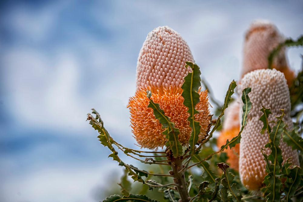 Banksia prionotes, (Acorn Banksia) flower spikes in white yellow orange color with serrated leaves ,