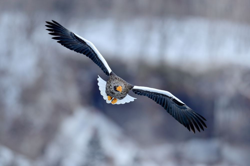 Eagle flying in the forest in winter