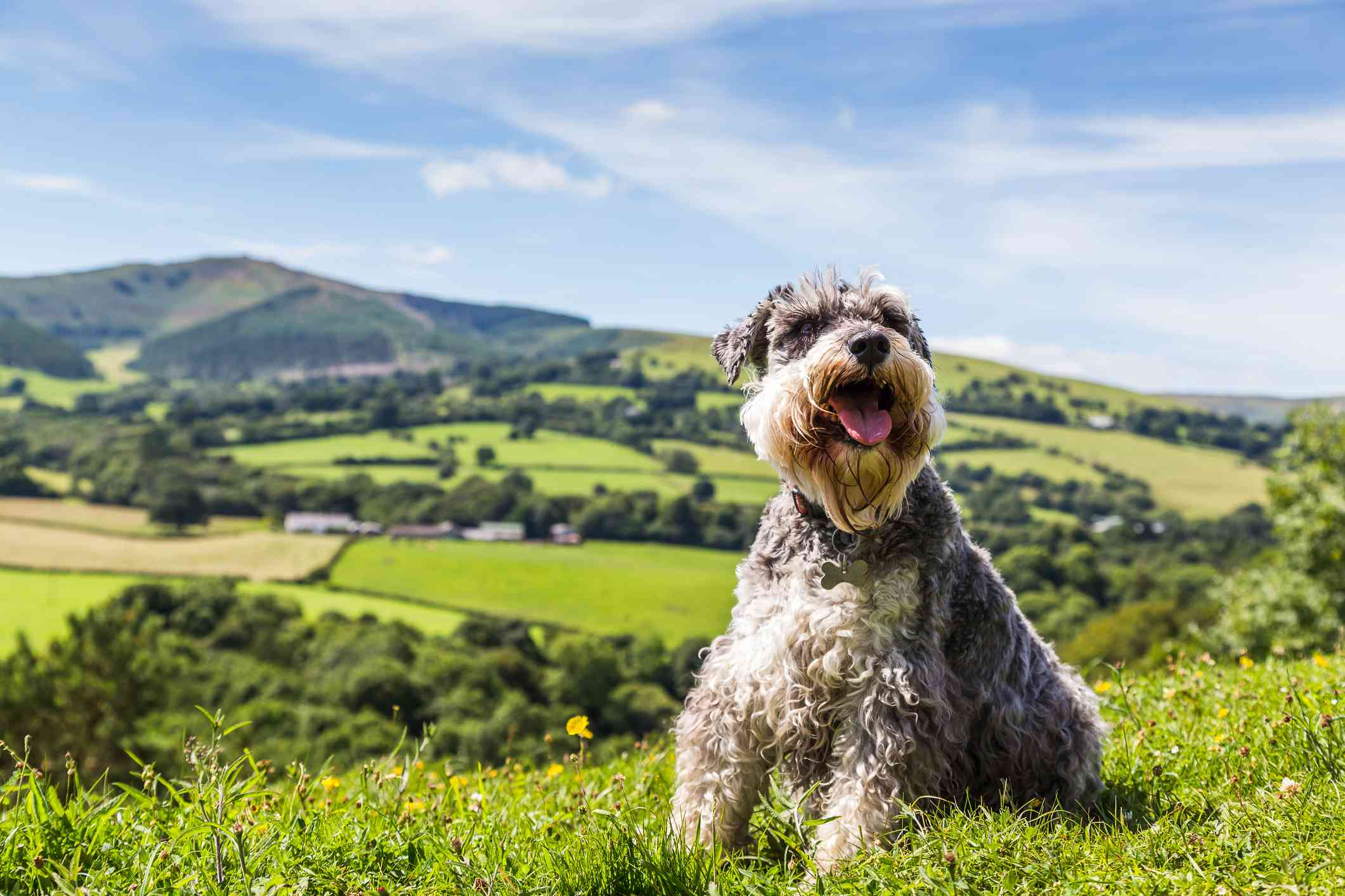Miniature Schnauzer dog pictured on the peak of Loggerheads Country Park in Wales