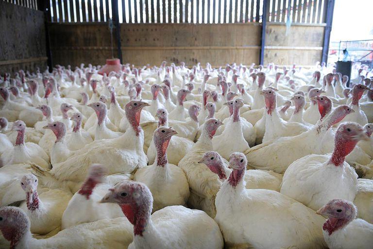 Free Range Turkeys in barn