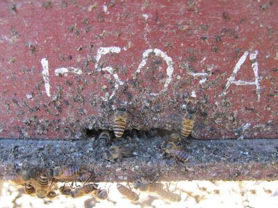 Honey bees apply animal feces at the entrance of their hives.