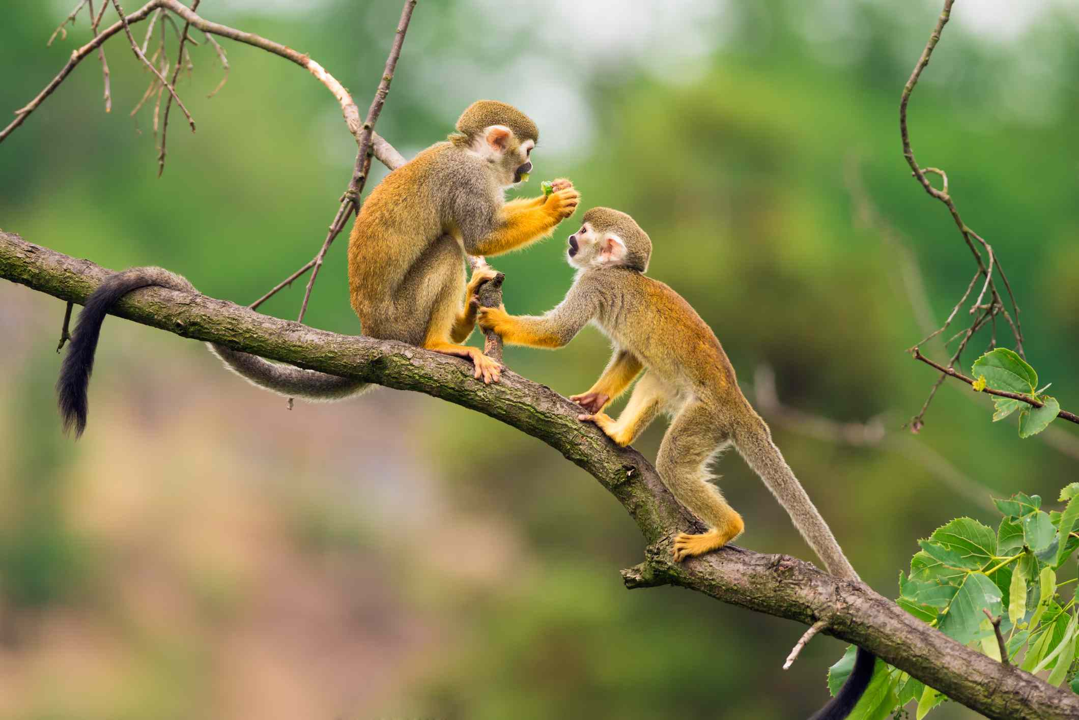 two tan squirrel monkeys playing on tree branch