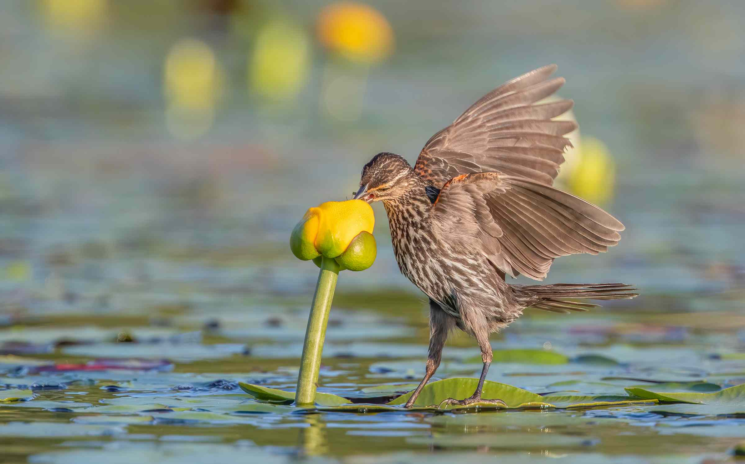 red-winged blackbird and lily pad