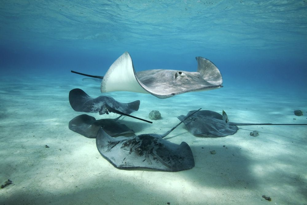 One stingray swimming near the ocean's surface while four stingrays sit on the sand floor below