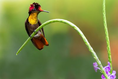 Ruby topaz hummingbird perching on a plant