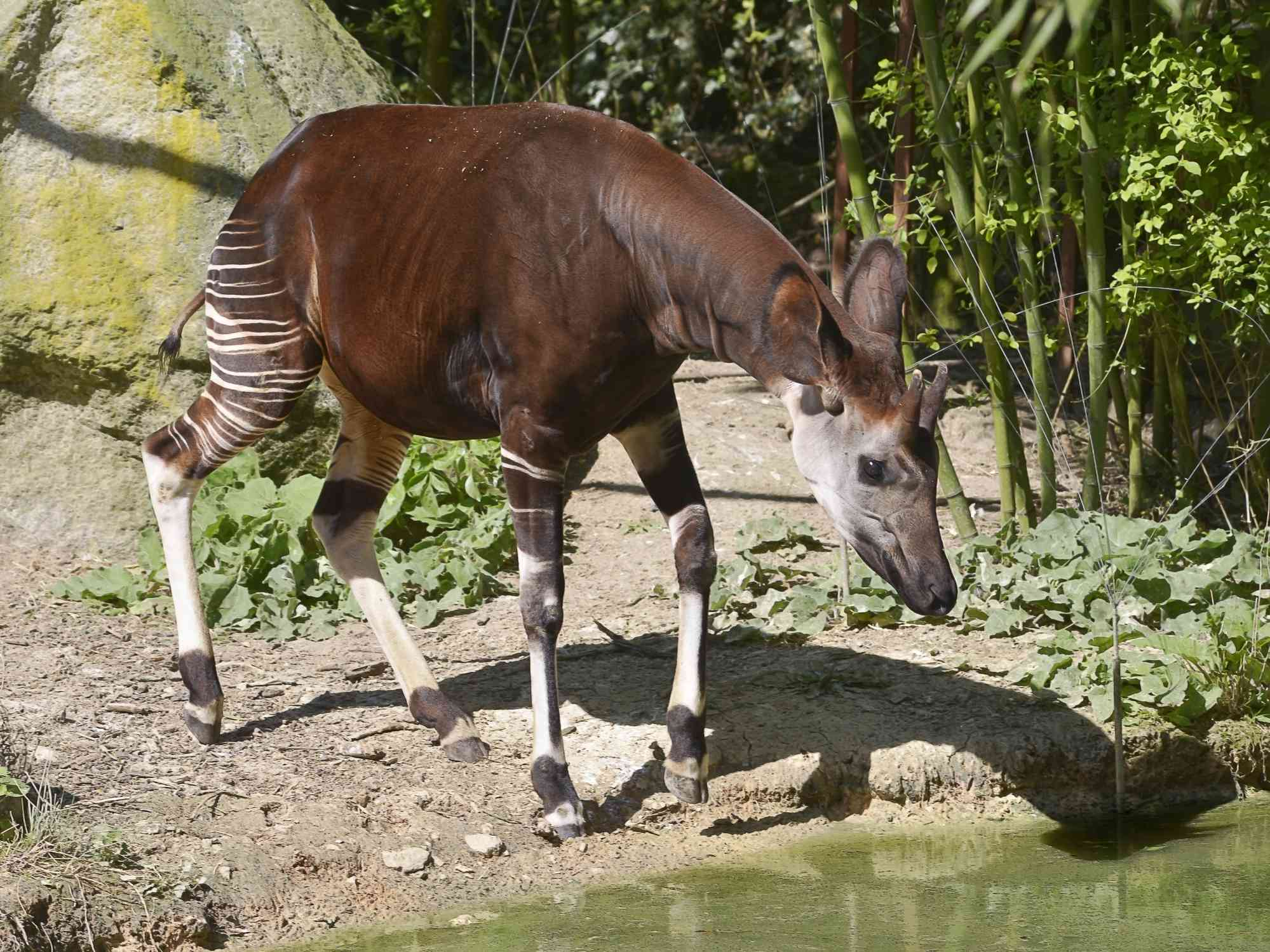 profile of brown okapi with striped legs bending down for a drink