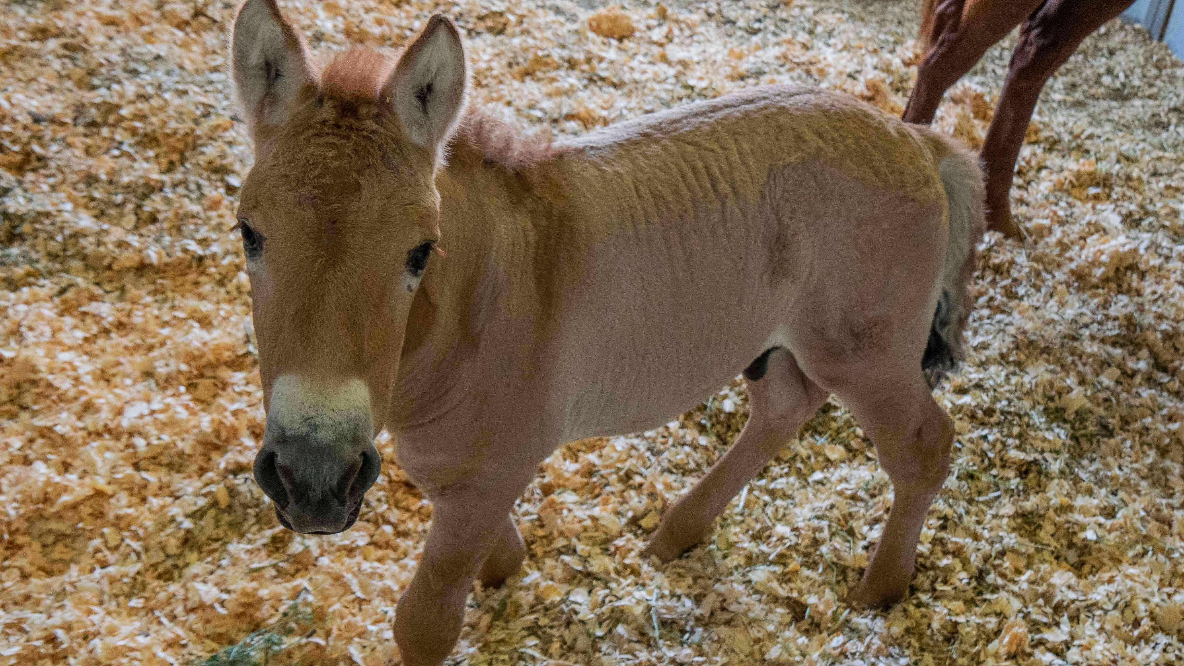 Kurt, the first cloned Przewalski Horse foal