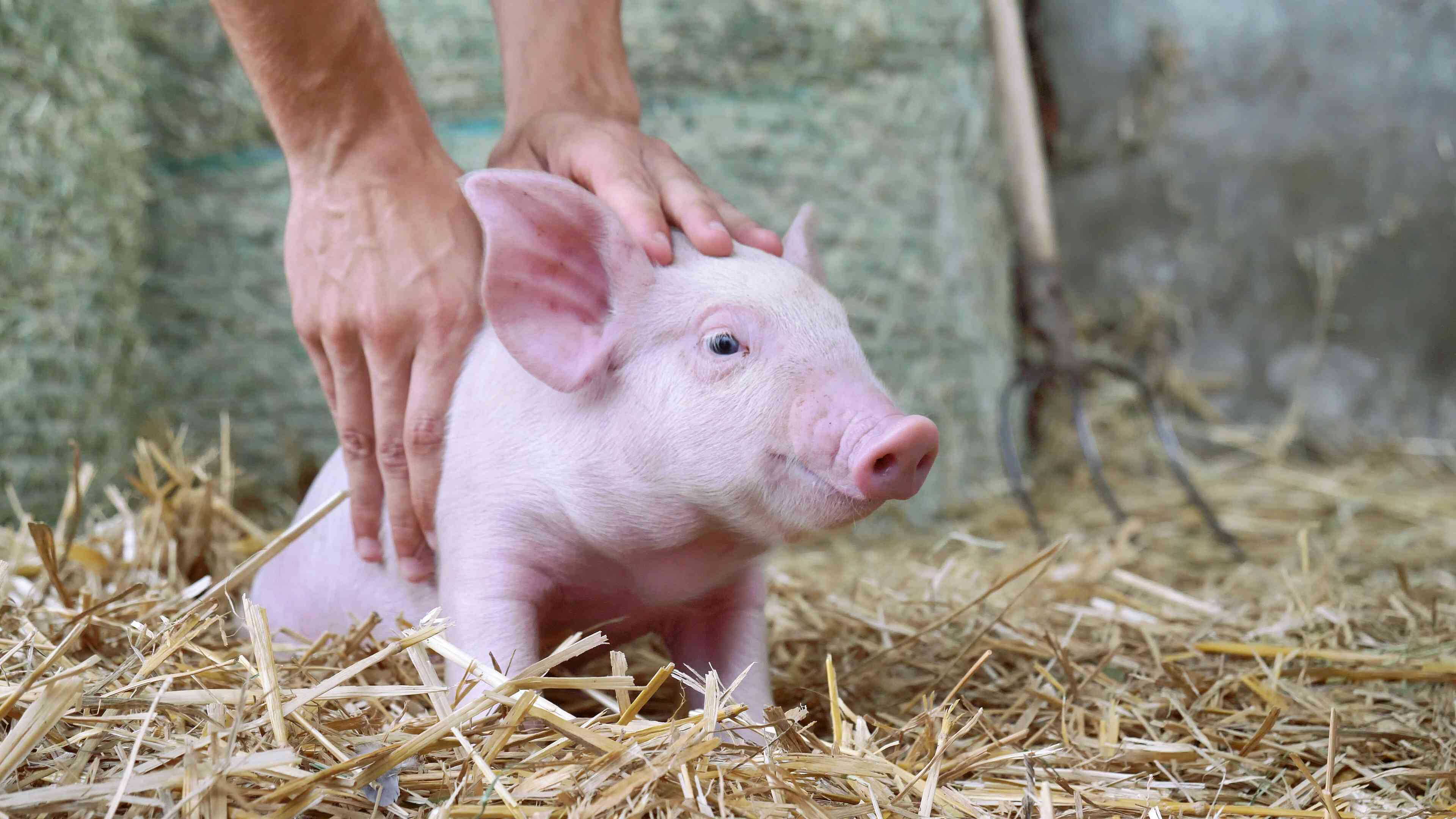 A hand petting a piglet sitting on hay.