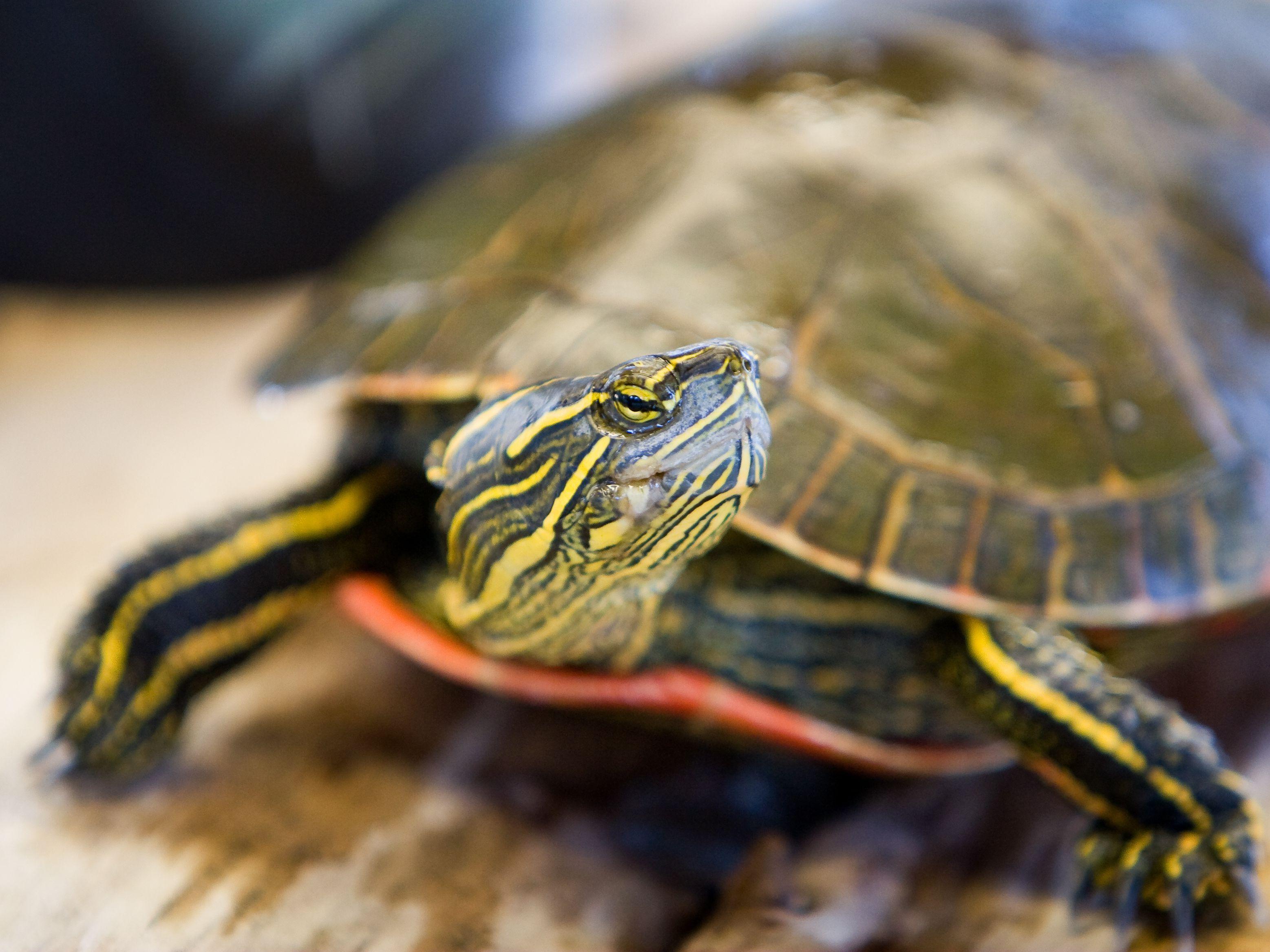 Should You Keep A Wild Turtle