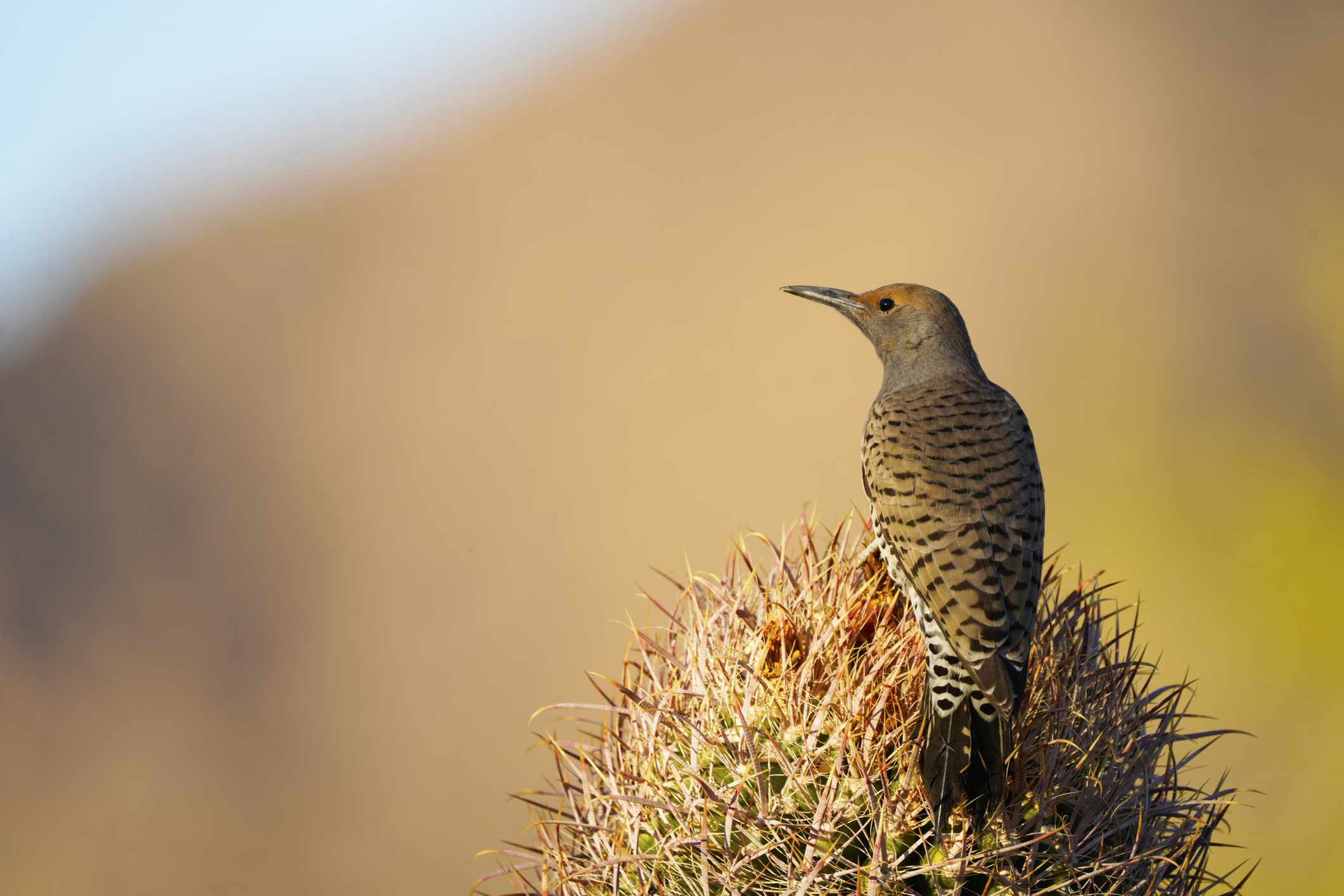Gilded woodpecker on a cactus.