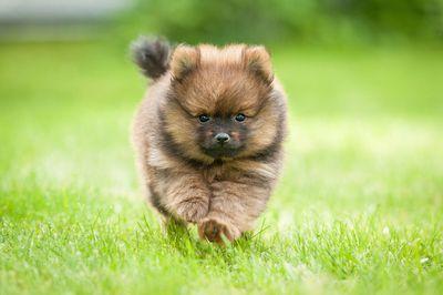 Brown Pomeranian dog running in grass