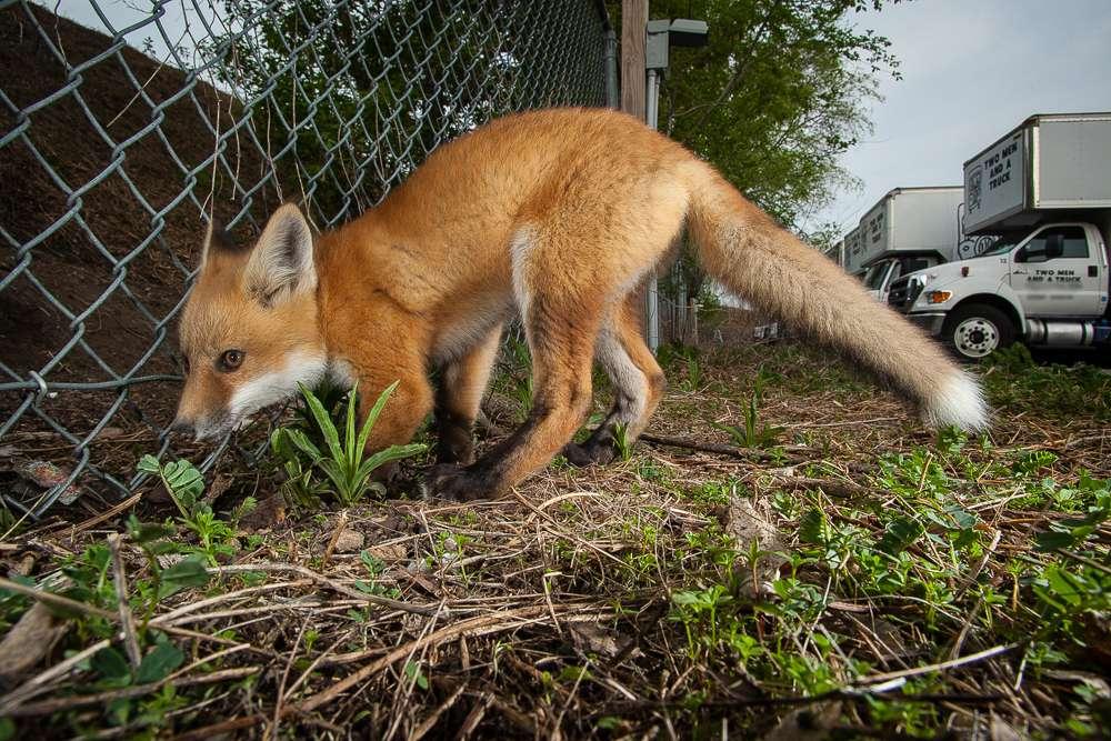 Urban fox kit heads under a fence.